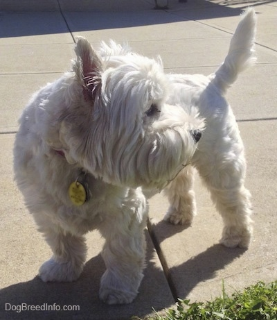 The front left side of a West Highland White Terrier that is standing across a concrete surface and it is looking to the right. The dog's tail is up and it has perk ears and longer hair on its face.