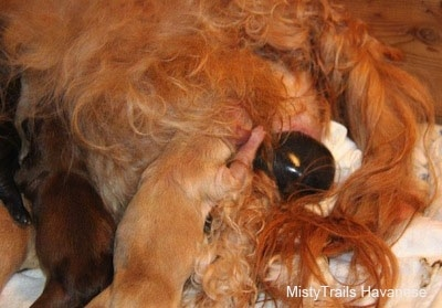 Puppy nursing while another is being born