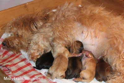 Five puppies nursing