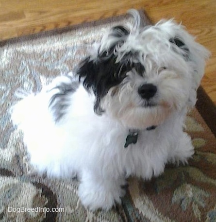 A white with black Zuchon puppy is sitting across a rug and it is looking up. It has a thick coat that is covering up its eyes and ears that hang down to the sides and a big black nose.
