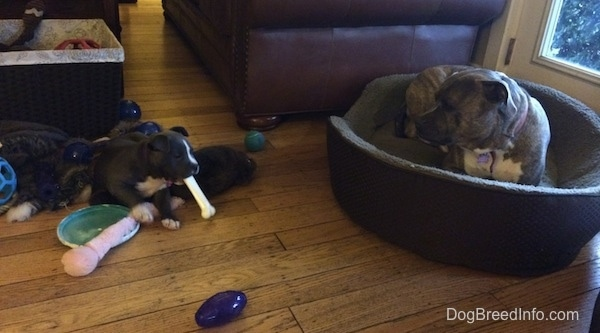 Spencer the Pit Bull Terrier laying in a dog bed watching Mia the American Bully puppy chew on a dog bone
