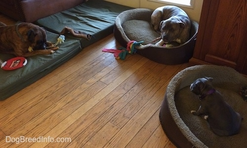 Bruno the Boxer laying on an orthopedic bed. Spencer the Pit Bull Terrier and Mia the American Bully puppy laying in oval dog beds