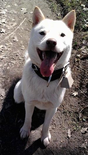 Hokkaido Dog Breed Info
