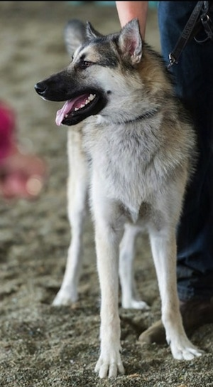 A thick coated, gray, Alaskan Shepherd in sand on a leash