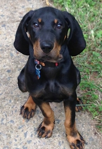 Nash the Black and Tan Coonhound puppy sitting on a sidewalk looking at the camera holder