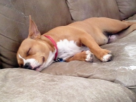 American French Bull Terrier sleeping on