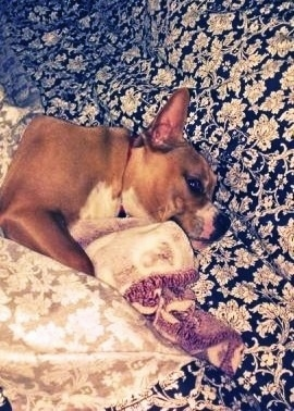 American French Bull Terrier laying down with a blanket