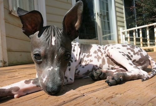 American Hairless Terrier puppy laying down on a wooden porch