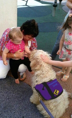 Working Australian Cobberdog being pet by a baby and an adult person