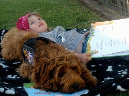 Australian Cobberdog laying on a blanket with a little girl using it as a pillow as she reads a book