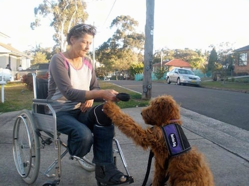 Australian Cobberdog assisting an amputee who is in a wheelchair