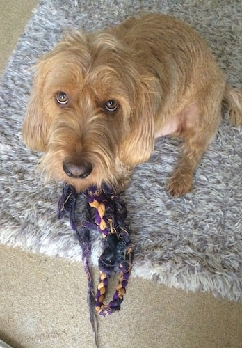 Barnie the Basset Fauve de Bretagne sitting down on a rug in front of a rope toy looking up