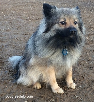The front right side of a white and black, Black Mouth Pom Cur that is sitting in mud and it is looking forward.
