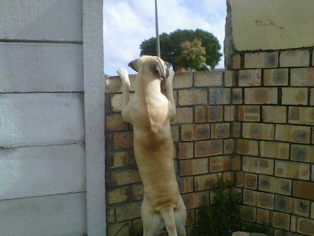 Duke the Boerboel jumping up against a brick wall to look over it