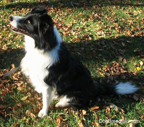 Right Profile - Audria the Border Collie sitting outside in leaves with its mouth open