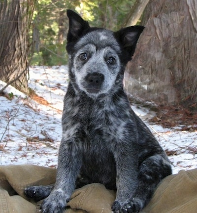 A black with white Border Heeler Puppy is sitting on a corduroy jacket, its head is slightly tilted to the right and behind it is a large tree.