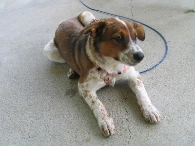 The front right side of a white with brown and black Border Heeler that is laying on a concrete top and it is looking to the right.