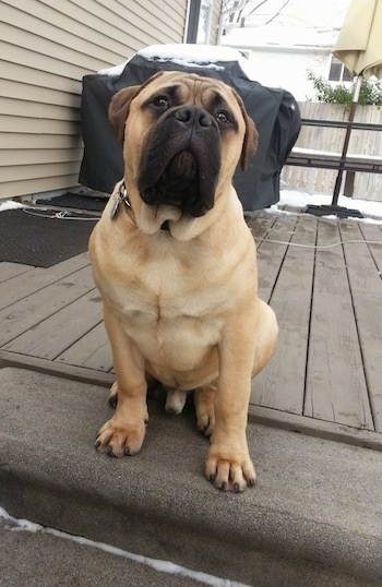 Higgins the Bullmastiff sitting on the back deck at the top of stairs looking at the camera holder with a covered grill in the background