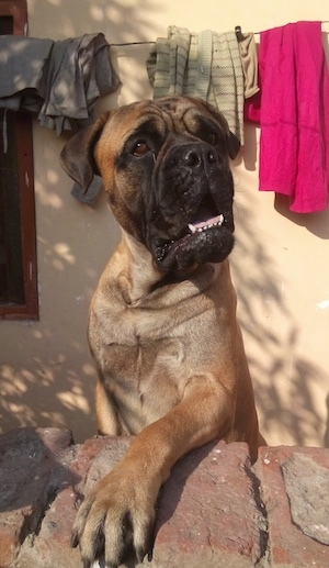 Rambo the Bullmastiff jumped up with one paw on a brick wall in front of a house and clothes line