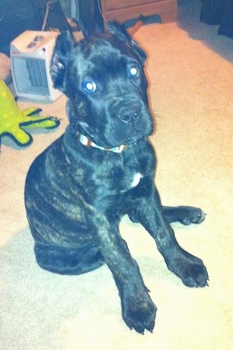Hank the Cane Corso Italiano Puppy is sitting on a carpet and looking up