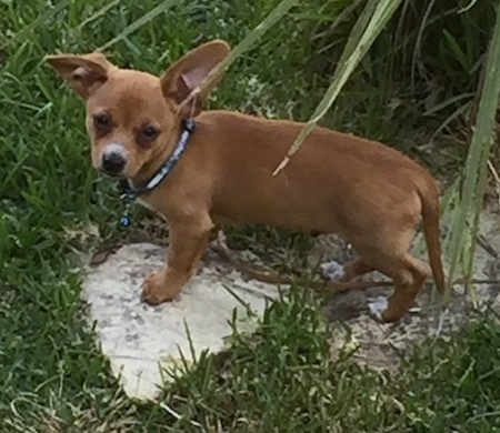 Charlie the Chiweenie puppy is standing on two large flat rocks which are surrounded by grass in a yard