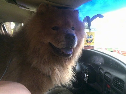 King the Chow Chow is standing on the arm rest of a car. King is looking out of the window. There is a Spongebob air freshener hanging from the rearview mirror