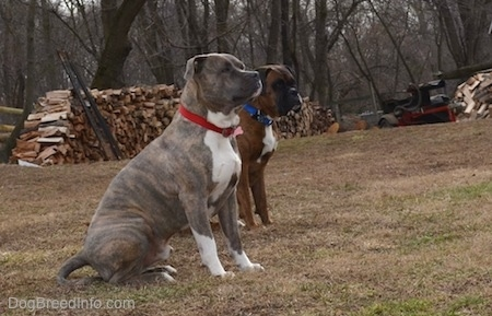 Spencer the Pit Bull Terrier and Bruno the Boxer sitting in a field with chopped firewood in the background