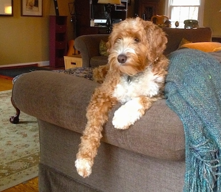 Charlie the Double Doodle is laying on a couch and on of its paws are hanging over the edge