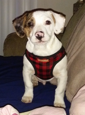 Bernie the white, brown and tan Doxle Puppy is wearing a red and black plaid shirt and  sitting on top of a blue blanket on top of a tan couch