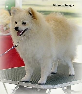 A white German Spitz is standing on a table outside and looking forward.