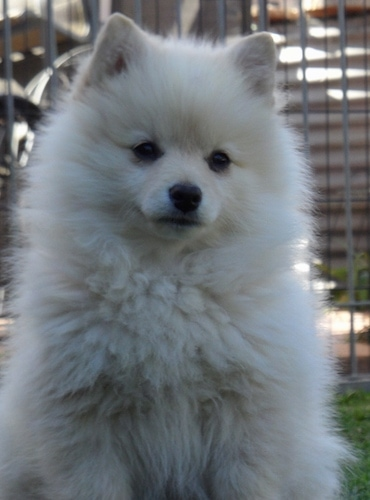 Close Up upper body shot - A fluffy white German Spitz is sitting in a field in front of a chain link fence