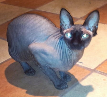 Fergie the hairless Sphynx cat is crouching on a tiled floor and looking towards the camera holder