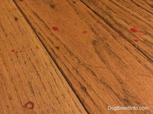 Several Blood drops on a hardwood floor