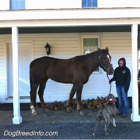 A brown with white horse is standing across a stone porch in front of an old farm house and there is a person holding its reins. There is a blue-nose brindle American Pit Bull Terrier in front of them and it is looking up at the horse.