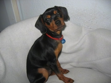 A black and tan King Pin is wearing a red collar sitting on a white dog bed