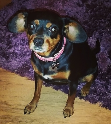 A black and tan with white King Pin dog is wearing a pink collar sitting on a purple throw rug with its front paws on a hardwood floor and looking forward