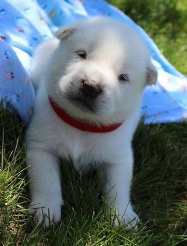 A young white Kishu Ken puppy is wearing a red collar laying outside with its back end on a blue blanket and its front end in grass. Its head is tilted to the right. It looks like a baby seal.