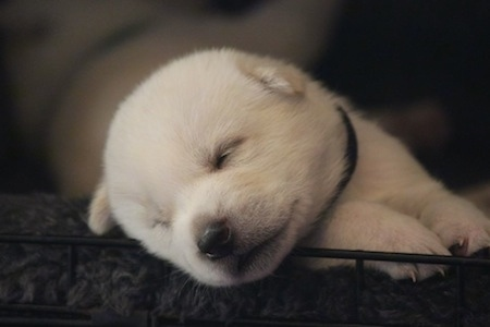 Close Up front body shot - A white Kishu Ken puppy is sleeping on a bed inside of an open dog crate. Its head is on the bottom wire railing.