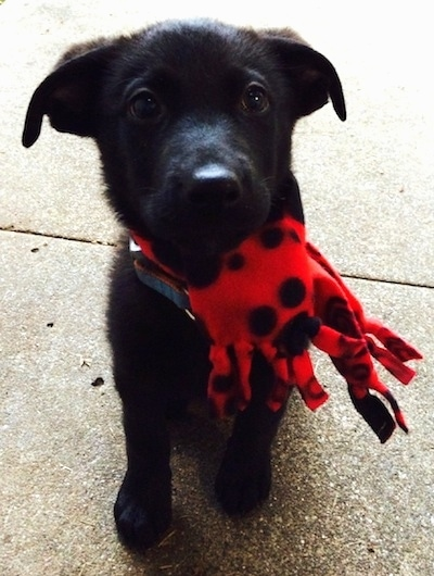 Veiw from the front - A black Labrador Retriever mix puppy is standing on a concrete surface. It is looking up and it has a red with black scarf that looks like an octopus toy wrapped around its neck.