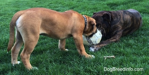 A laying reverse brown brindle with white Leavitt Bulldog is biting at a soccer ball the same time as a tan with black and white Leavitt Bulldog puppy