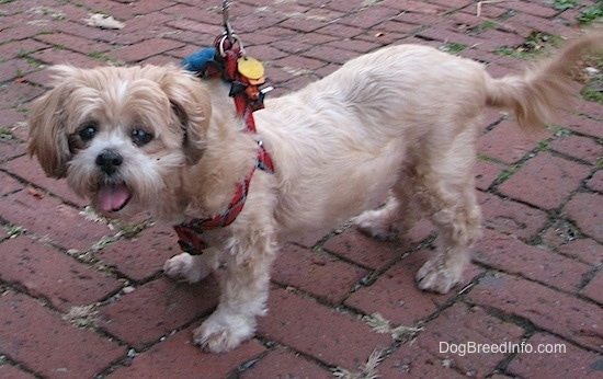 A shaved, tan Lhasa Apso dog is wearing a red harness standing on a brick sidewalk looking to the left. Its mouth is open and tongue is out.