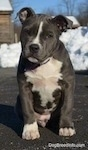 Close up - A blue nose American Bully Pit puppy is sitting on a blacktop surface and it is looking forward. Its head is slightly tilted to the right and there is a pile of snow behind it.