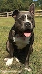 A blue nose American Bully Pit is sitting in grass. She is leaning forward a little. Her mouth is open and tongue is out. Her right ear is up and her left ear is down.
