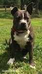 A blue nose American Bully Pit is sitting in grass and she is looking to the right. Her right ear is up and her left ear is slightly up.