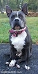 A blue nose American Bully Pit is sitting on a blacktop surface and she is looking forward. Both of her ears are up.