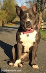 A blue nose American Bully Pit is sitting on a blacktop surface. Both of her ears are up and she is looking forward.