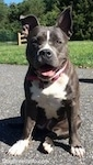A blue nose American Bully Pit is sitting on a blacktop surface. She is looking forward, her mouth is open and it looks like she is smiling. There is a persons shadow behind her.
