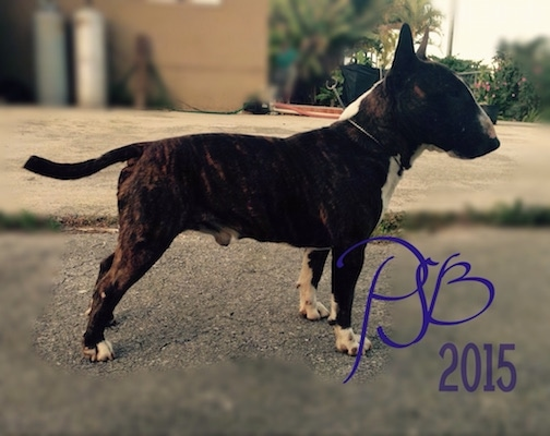 Left Profile - Hugo Boss the Miniature Bull Terrier standing in a road. 'PJB 2015' is overlayed in the bottom right corner