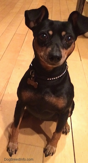View from the front - A black and tan Miniature Pinscher is sitting on a hardwood floor.
