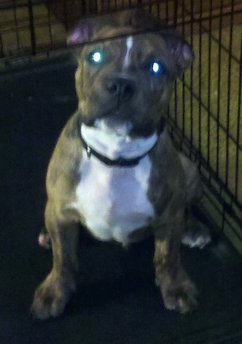 A wide-chested, brown brindle with a white chest Old Anglican Bulldogge puppy is sitting in a dog crate looking up. There is a green glow in its eyes from the camera.
